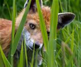 Fox Cub