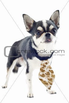 chihuahua with tie