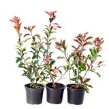 japanese photinia