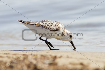 Sanderling Eating