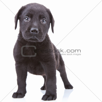 alert labrador retriever puppy