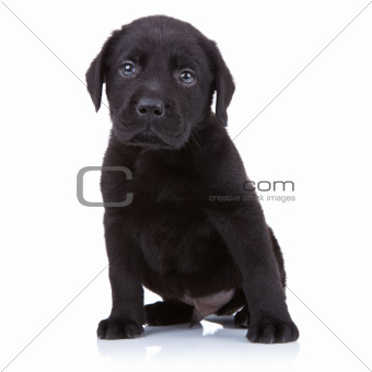 cute little black labrador retriever