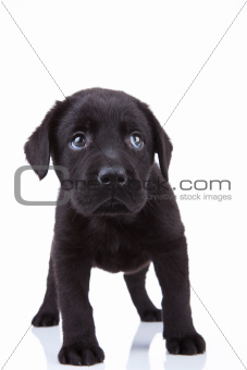 shy little labrador puppy