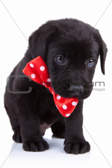 handsome black puppy