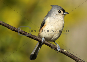 Portrait of Tufted Titmouse