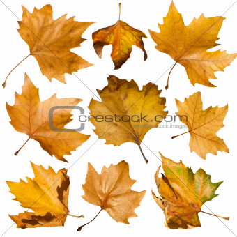 Autumn leaves set. White isolated