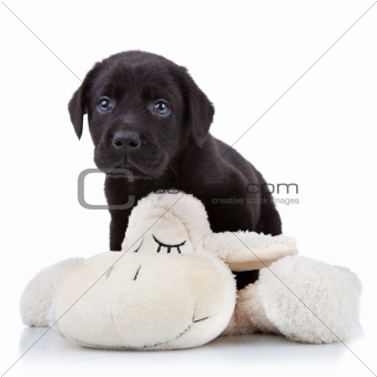 playful labrador puppy