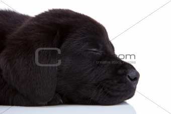sleepy black labrador