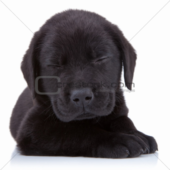 tired  black labrador