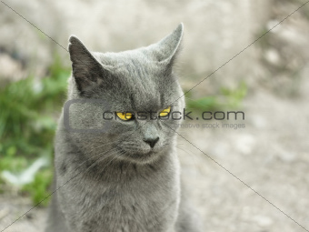 Mature gray British cat outdoors