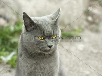 Mature gray British cat outdoors