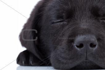 labrador retriever sleeping