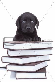 smart little labrador