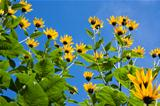 The yellow flowers of Jerusalem Artichoke plants