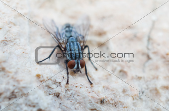Hairy house fly