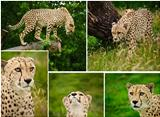 Compilation of images of Cheetah Acinonyx Jubatus big cat