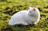 White cat
