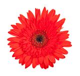 Single red gerbera flower