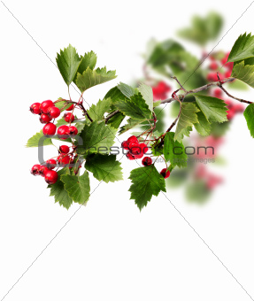Green hawthorn branch red berries