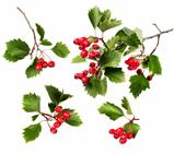 Green hawthorn branches red berries