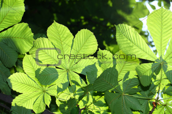 Green chestnut leaves