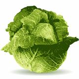 cabbage vector illustration