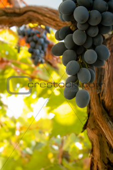 A bunch of black ripe wine grapes on the vine