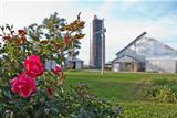 Roses and Barnyard
