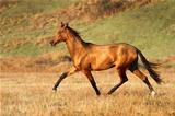 Akhal-teke horse runs