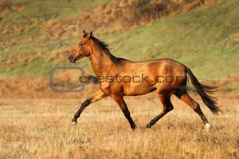 Akhal-teke horse runs