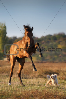 Akhal-teke horse with dog
