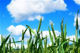 Field of cereals with blue sky
