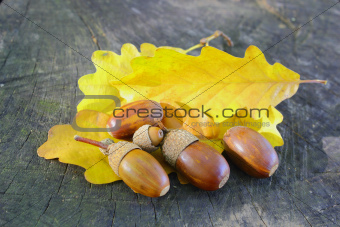 acorns on yellow leafs