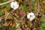 Closeup of a cotton plant