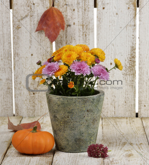 Mums Flowers And A Pumpkin