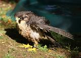 Lanner Falcon