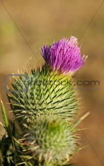 Cirsium vulgare, Spear thistle in flower