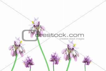Australian Wild flowers vanilla lily Sowerbaea juncea