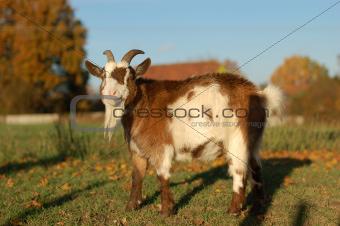 Bearded goat in a field