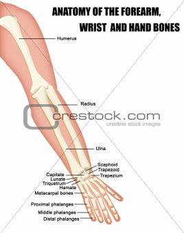 Anatomy of the Forearm, Wrist and Hand Bones