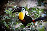 Tucan