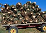 Cut Christmas Trees on Wagon