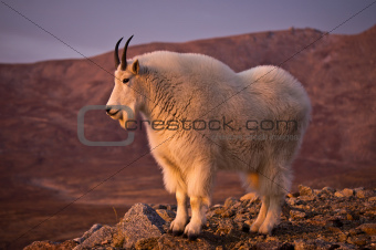 Proud Mountain Goat