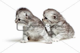 Two British breed kittens