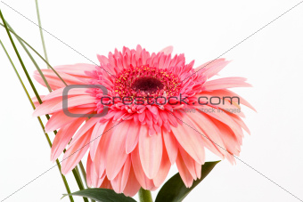 Red flower gerbera on white background 