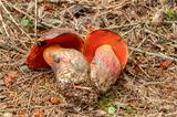Red Boletus erythropus founded in summer forrest
