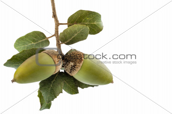 Holm oak branch with acorns