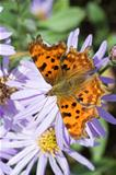 Comma (Polygonia C-Album) Butterfly on Aster
