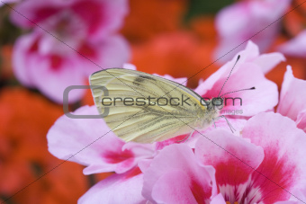 Green-veined White (Pieris-napi) on Geranium