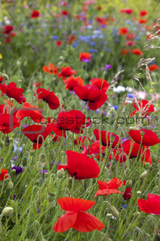 Poppies (Papaver rhoeas) amongst wild flowers